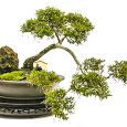 Bonsai Exhibition 230x230